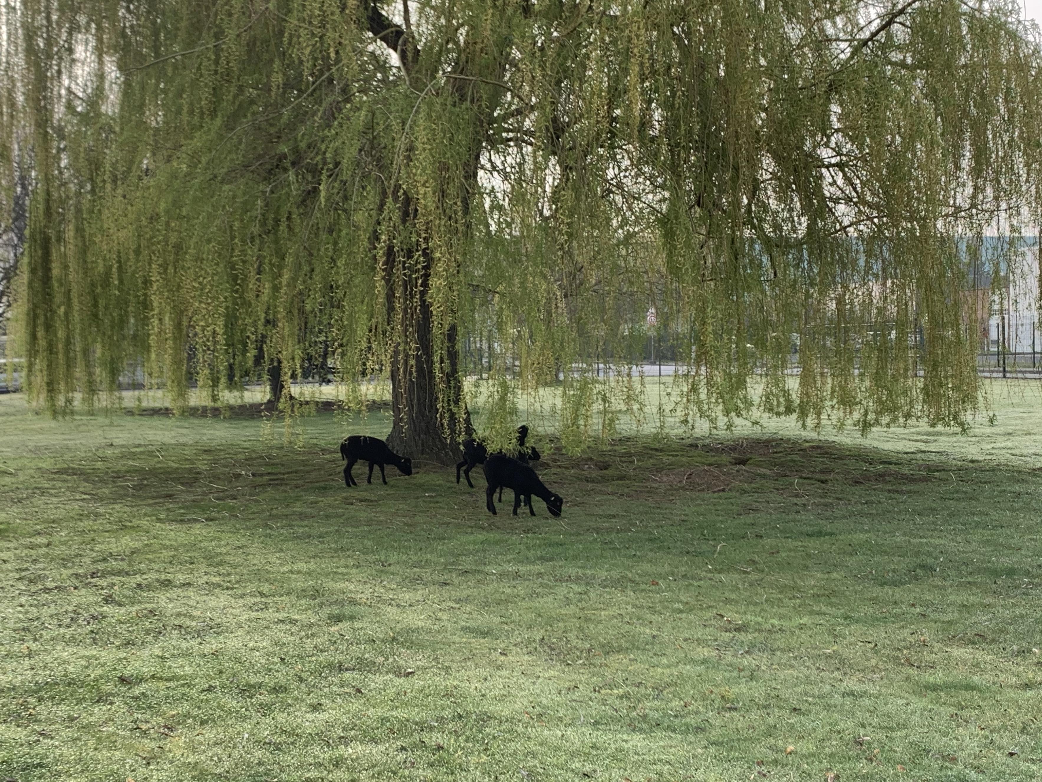 Quatre brebis ont rejoins notre parc d'activité dans le cadre de l'écopaturage